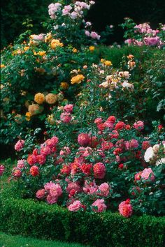 What to do if you find rust on your rose bush.