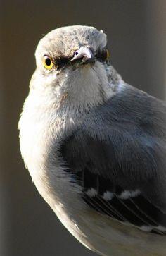 Mocking Bird Wild Bird Food, Wild Birds, Love Birds, Beautiful Birds, Mocking Birds, Bird Pictures, Bird Watching, Bird Feathers, Bird Houses
