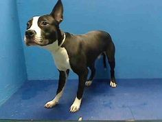 Executed on 4/5/13 Brooklyn Center -P Her name was BLUEBERRY ad her animal ID # was A0960033. He was an eight-month-old male black and white pit bull mix.