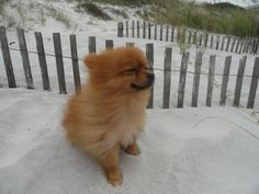 Beach and wind for buddy.  Pomeranian.