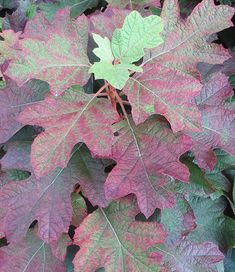 Eichblatt-Hortensie 'Snowflake' Hydrangea Quercifolia, Snowflakes, Plant Leaves, Plants, Oak Leaf Cluster, Garten, Climber Plants, Pink Roses, Winter Festival