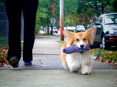 Everyone needs a corgi to carry their umbrella! Or I could make my future dog carry my stuff on its back when I walk them