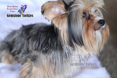 About Merle Aka Colored Coat Yorkshire Terriers Exotic Yorkies