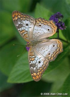 White Peacock Butterfly (Anartia jatrophae) is found in the southeastern US , Central America, and throughout much of South America.
