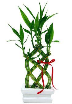Lucky Bamboo Plants, Bonsai Garden, Plant Design, Container Plants, Science And Nature, Feng Shui, Houseplants, Flower Arrangements, Flowers