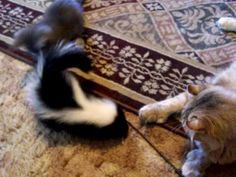Unfortunately I don't have any videos of My own pet skunk, but he was very similar to this one.  Skunks are wonderful, loving pets for the right people.  Yes, they have the 'skunky' smell removed while small.  If you live where you are allowed to have a pet skunk, be sure to get it from a reputable dealer.  DO NOT attempt to tame a wild skunk.  Trust me on that one.  LOL