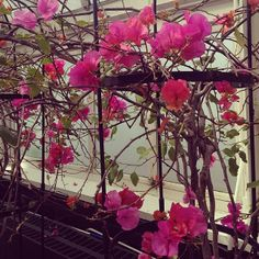 """Bougainvillea """"James Walker"""" in the Enid A. Haupt Conservatory. #nybg"""