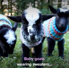 Goats have to keep warm too! Goats have to keep warm too! Goats have to keep warm too! Goats have to Cute Funny Animals, Cute Baby Animals, Funny Cute, Farm Animals, Animals And Pets, Animal Pictures, Cute Pictures, So Cute Baby, Too Cute