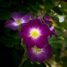 Rose, Parfait Amour, バラ, パルフェ タムール, Climbing rose つるバラ United Kingdom イギリス Warner 2009