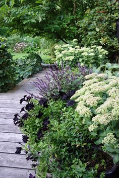 Love this glam combo of black petunias, Sedum spectabile 'Iceberg'and what looks like Plectranthus 'Mona Lavender'.