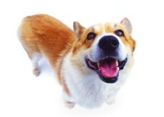 Your corgi may have a tail, but you shouldn't. Following you from room to room may mean she thinks she can't leave you alone, or that she needs something in her life -- companionship, exercise or entertainment. Changing some of your behaviors and your dog's will get her to stop following your every move.