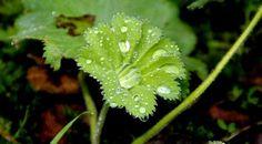 Ursprünglich kommt der Gemeine oder gelb-grüne Frauenmantel aus Osteuropa und Asien. Mittlerweile ist er auch bei uns heimisch und vielfach wild zu finden. Frauenmantel hat eine ganz besondere Eigenschaft, er schwitzt kristallklares Wasser aus den Spitzen seiner Blattzähnchen, welches sich in der Mitte der hübschen Mantelblätter zu einem großen Tropfen sammelt. Diese Tropfen werden Guttationstropfen genannt und waren bei den Alchemisten des Mittelalters sehr beliebt.