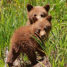 redwingjohnny: Black Bear Cubs