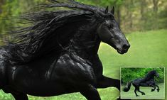 He may just be the world's most handsome horse. Frederik The Great, a real life Black Beauty from the United States, has a muscular build, striking black features and flowing black mane.