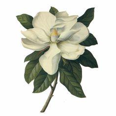 Vintage Botanical Prints, Botanical Drawings, Botanical Art, Botanical Illustration, House Illustration, Flor Magnolia, Magnolia Flower, Tiare Tahiti, Magnolia Tattoo