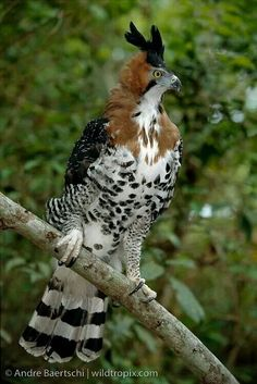 The ornate hawk-eagle (Spizaetus ornatus) is a bird of prey from the tropical Americas. Like all eagles, it is in the family Accipitridae. This species is notable for its vivid colors, which differ markedly between adult and immature birds. Pretty Birds, Beautiful Birds, Animals Beautiful, Cute Animals, Small Animals, All Birds, Birds Of Prey, Love Birds, Exotic Birds