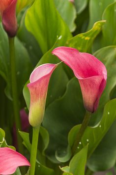 ALG_3409 by nikontino, via Flickr Calla Lily, Flower Photos, Rose, Natural, Beautiful Flowers, Bloom, Lilies, Gardens, Wallpapers