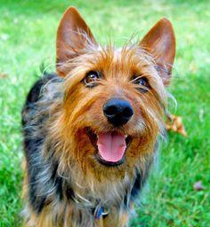 Australian Terrier http://www.animalplanet.com/breed-selector/dog-breeds/terrier/australian-terrier.html