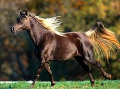 Rocky Mountain Horse (I have always wanted one of these pretty horses.) I love his coat.