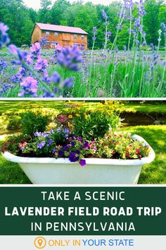 Take a scenic and relaxing summer road trip to the best, most beautiful lavender fields in Pennsylvania. You can even pick your own flowers at some of these farms! Lavender Fields, Haunted Places, Summer Travel, Road Trips, Farms, Pennsylvania, State Parks, Travel Destinations, Most Beautiful