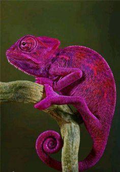 Wow! A fuschia chameleon!