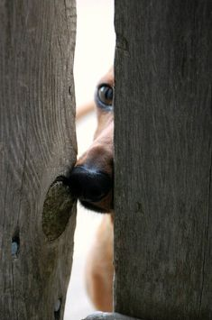 EVERYtime I was outside the gate Mercy was watching between the slats JUST LIKE THIS. I will always remember this look.