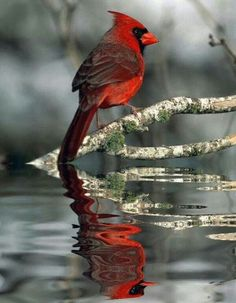 Beautiful Cardinal and it's reflection in the water. Pretty Birds, Love Birds, Beautiful Birds, Animals Beautiful, Bird Pictures, Animal Pictures, Cardinal Pictures, Animals And Pets, Cute Animals