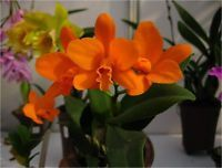 Cattleya Pot. Shinfong Little Sun 'Youngmin Golden Boy' New Growth *MINI*