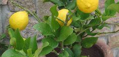 I limoni in vaso sono un'ottima pianta da avere in giardino. Oltre a regalarvi degli splendidi frutti, che potrete utilizzare nelle vostre sperimentazioni culinarie, renderanno più bella la vostra casa grazie agli splendidi fiori bianchi che sbocciano a primavera e inizio estate. Ma come curare i limoni in vaso? Ecco un po' di consigli, da come … Continued