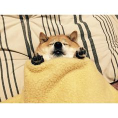 Funny pictures about Shiba Inu Burrito. Oh, and cool pics about Shiba Inu Burrito. Also, Shiba Inu Burrito photos. Animals And Pets, Baby Animals, Funny Animals, Cute Animals, Shiba Inu, Cute Puppies, Cute Dogs, Dogs And Puppies, Funny Babies