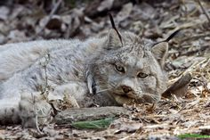 Lounging Canadian Lynx
