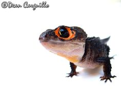 Red Eyed Crocodile Skink.  They are so cute!