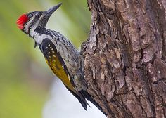 Black-rumped flameback Photo Guide | AtoZbirds