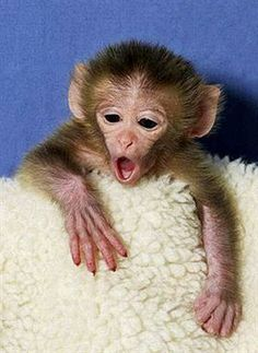 Own a pet monkey Primates, Cute Baby Monkey, Pet Monkey, Super Cute Animals, Cute Little Animals, Animals And Pets, Funny Animals, Cat Dog, Exotic Pets