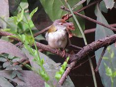 Common Tailorbirds: Pixellicious Photos | Travel | Photography