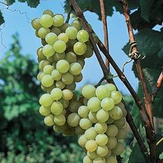 Golden Muscat has been named as one of the finest American grapes. A vineyard standard thanks to its vigorous and productive vines, this slip-skin. Grape Vine Plant, Grape Vines, Aquaponics System, Hydroponics, Grapevine Leaf, Wine Making Supplies, Berry Plants, Plant Zones, Wine Baskets