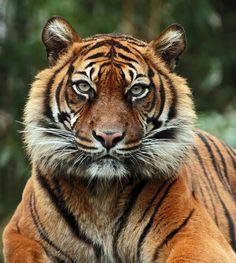 ~~sumatran tijger by j.a.kok~~