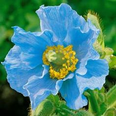 I MUST PLANT THESE OUTSIDE OUR OFFICE!!!   I love poppies and only recently discovered the Himalayan Blue Poppy!