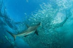 Credit: Thomas P. Peschak A bronze whaler shark charges into a baitball of sardines off South Africa's east coast.