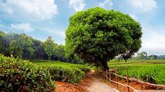 Tea Plantation.....