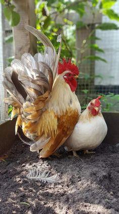 Pet bird breeds backyard chickens New Ideas Pretty Birds, Beautiful Birds, Animals Beautiful, Bantam Chickens, Chickens And Roosters, Fancy Chickens, Chickens Backyard, Farm Animals, Animals And Pets