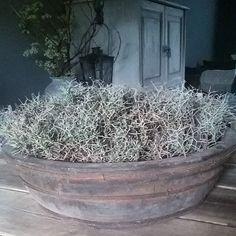 Iron Bush Nog steeds ben ik hier blij mee met de mooie grote olijfbak en de Iron Bush. Nou dat wou ik jullie even vertellen haha...fijne avond allemaal #ironbush #olijfbak #bak #hout #landelijk #landelijkestijl #sfeer #landelijkensoberwonen #thuis #landelijkwonen #sfeervol #mypicture #decoratie #mystyle #interieur #robuust #stoer #dewemelaer by _woonspulletjes_