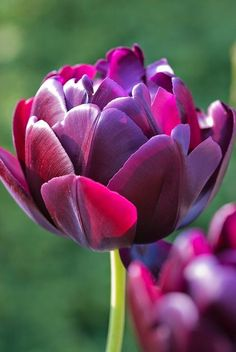 Tulip Black Hero