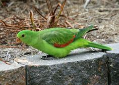 Краснокрылый попугай (лат. Aprosmictus erythropterus, анг. Red-winged Parrot) / Ara.ru