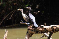 nature safari in rio frio - cormoran