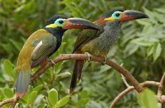 Cultura Guaraní: Lista de especies Tucanes
