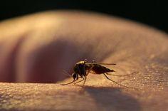 Chraňte se před komářím štípnutím přírodními prostředky