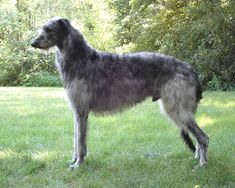 sottish deerhound phot | Scottish Deerhound dog photo and wallpaper. Beautiful Lovely Scottish ...
