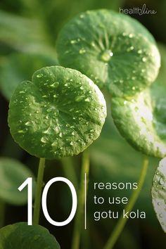 Gotu Kola: 10 Benefits Side Effects and Ayurvedic Healing, Healing Herbs, Medicinal Plants, Herbal Remedies, Gotu Kola Benefits, Herbal Tea Benefits, Magic Herbs, All About Plants, Vases