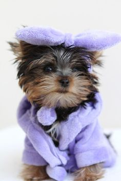 Yorkshire Terrier – Energetic and Affectionate Yorkies, Yorkie Puppy, Baby Animals, Funny Animals, Cute Animals, Cute Puppies, Cute Dogs, Photo Humour, Yorshire Terrier